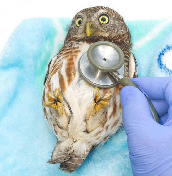 veterinarian holding and checkup owl with stethoscope